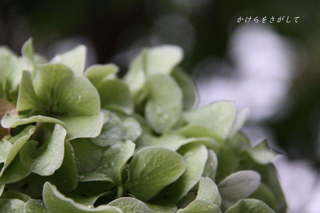 かわりゆくアジサイの花