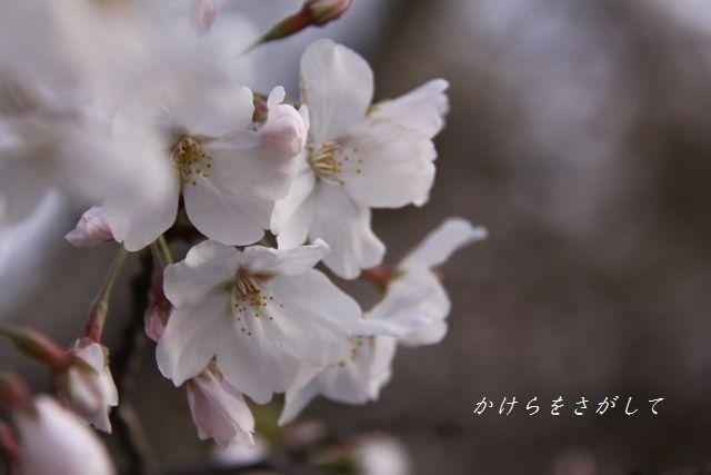 さくら (こころのうつくしさ)2010