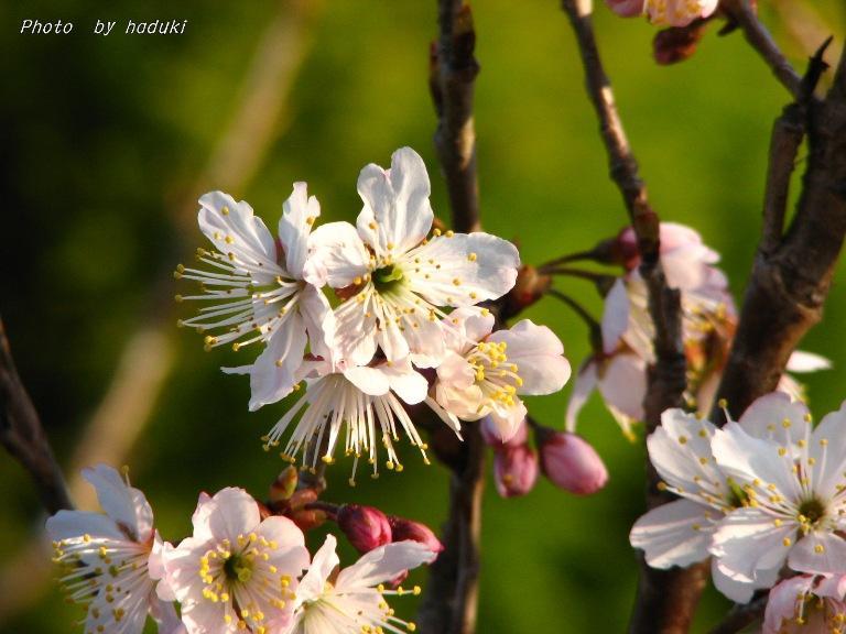 さくらんぼの花2008