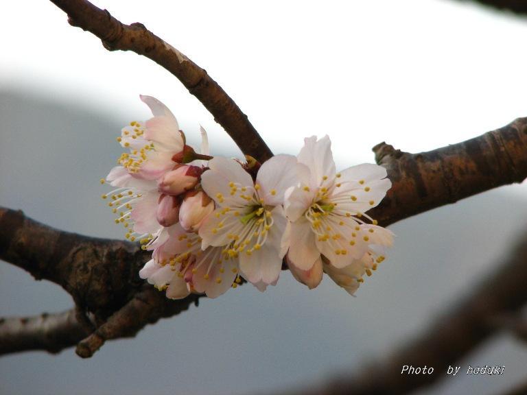 さくらんぼの花 2008