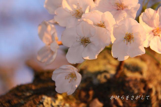 ゆうやけ桜 2010.jpg