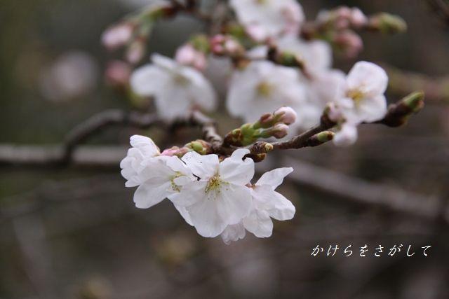 ソメイヨシノ 2010 (優美な女性).jpg