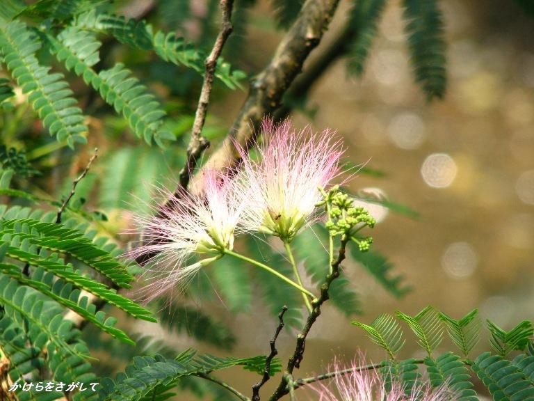 合歓の木の花(歓喜)