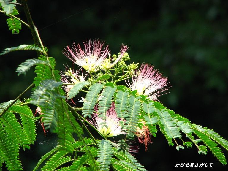 合歓の木の花〔繊細)