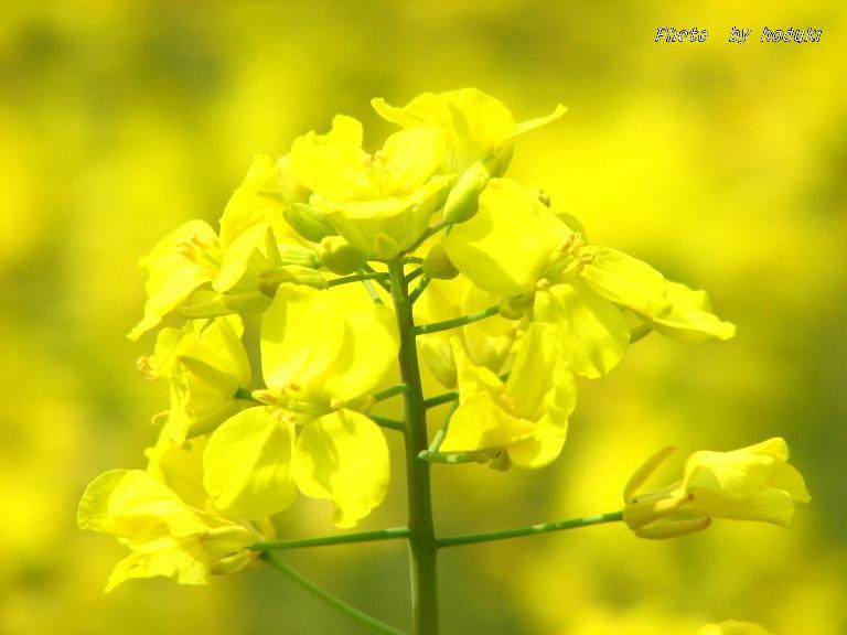 菜の花のひ(小さな幸せ)