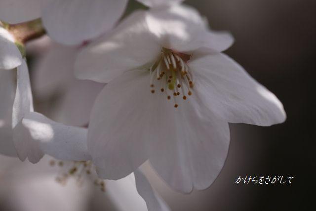 桜 (精神美)2010.jpg