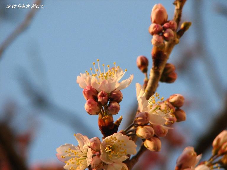 桜桃の花2008