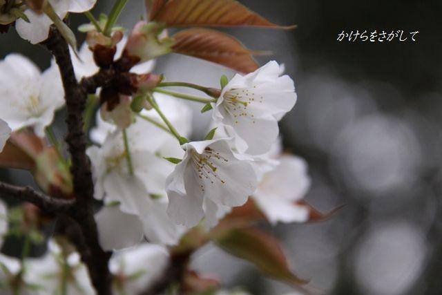 山桜(あなたにほほえむ)2010.jpg