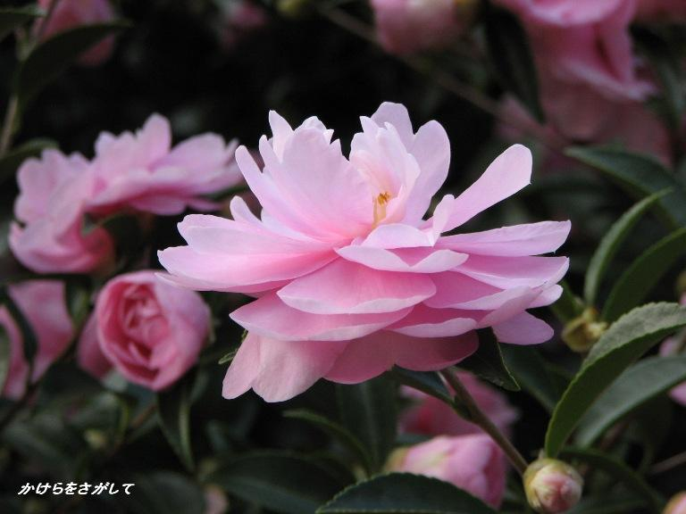 山茶花(理想の恋)