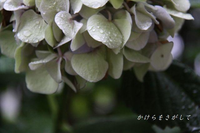 紫陽花2010 七変化