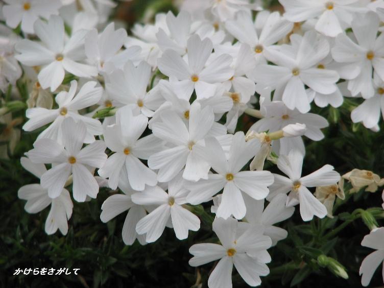 芝桜 白 (忍耐).JPG