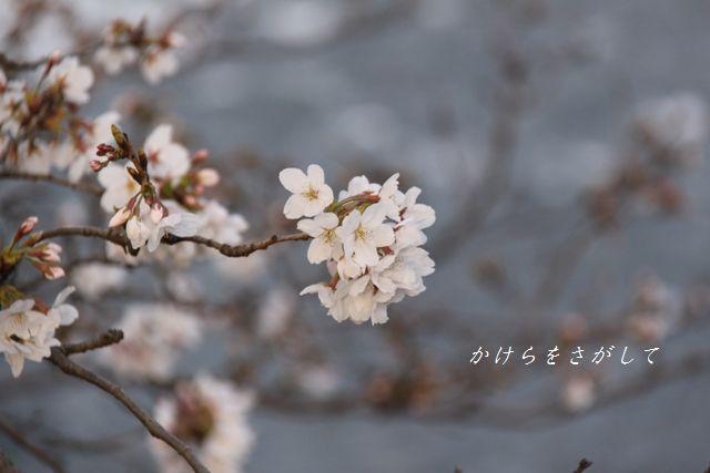 川面にさく桜 .jpg