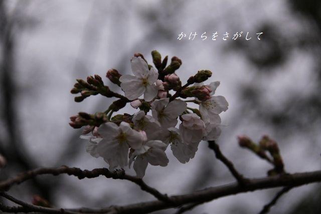 染井吉野 2010 (優美な女性).jpg