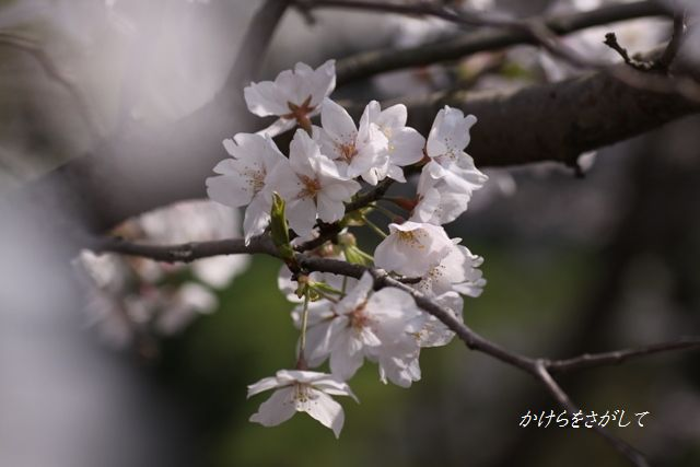 染井吉野2010(精神美).jpg