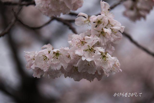 大寒桜2010.jpg