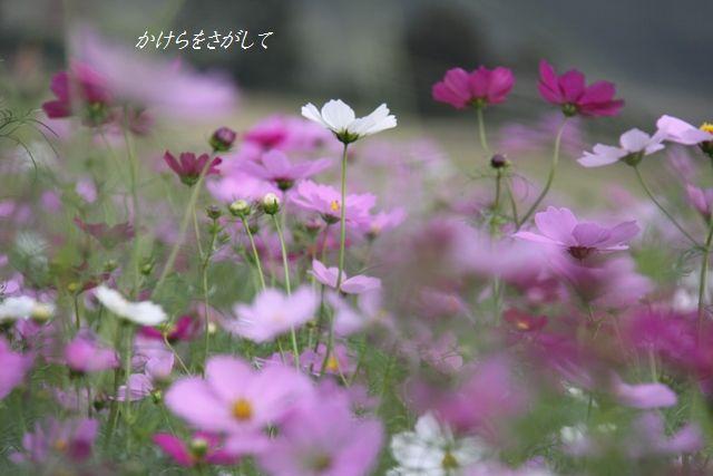 コスモス2010(乙女の純情) (3)