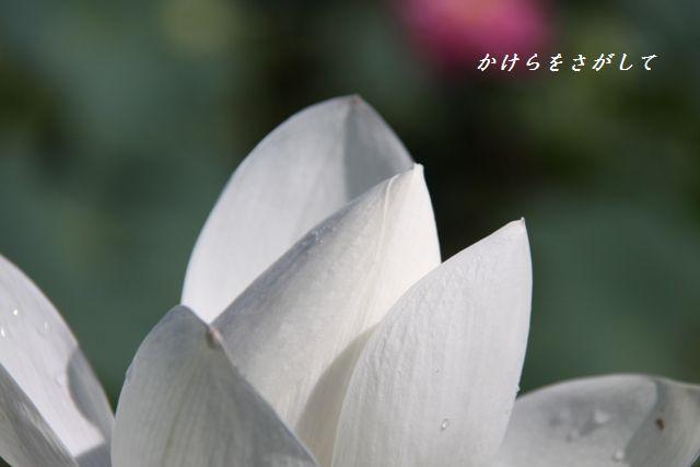 蓮(遠くにいった愛) (2)