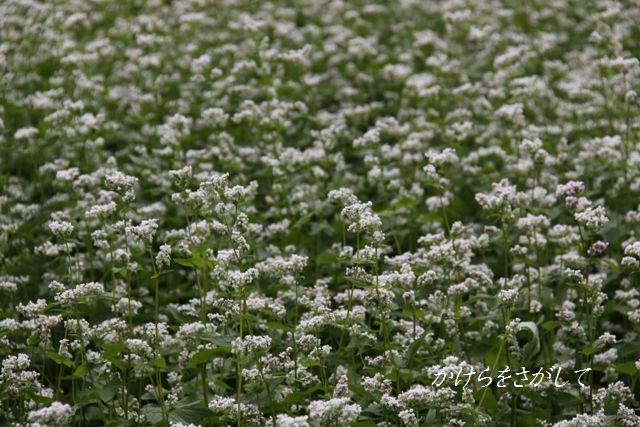 蕎麦の花(あなたを救う)